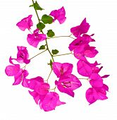 A Bougainvillea Branch On A White Background