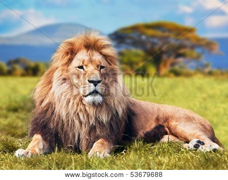 Big lion lying on savannah grass. Landscape with characteristic trees on the plain and hills in the  poster