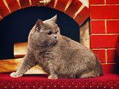 stock photo of portrait british shorthair cat  - blue british shorthair cat at home interior - JPG