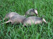 image of armadillo  - 4 young nine banded armadillos digging and feeding in tall grass - JPG
