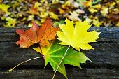 Three maple leaves on a fallen tree