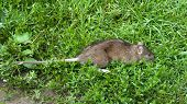 stock photo of dead mouse  - a dead rat lying on some grass - JPG