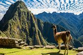 Llama at Machu Picchu, Incas ruins in the peruvian Andes at Cuzco Peru