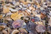 texture background of fall leaves on the ground, mostly maple, asian pear and cottonwood tree - low angle view with a shallow depth of field