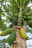 Papaya trees and fruits