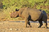Black Rhino - Rare and Endangered Species from Africa - Wildlife Background