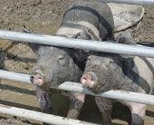 Farm Animals (pigs)