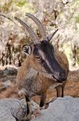 Wild Kri-kri Goat In Samaria Gorge, Crete, Greece.