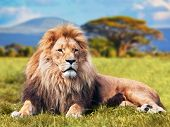 Big lion lying on savannah grass. Landscape with characteristic trees on the plain and hills in the