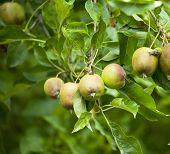 Tight Shot Apples On Tree