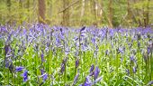 Hartshill Bluebell Woods