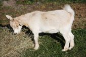 picture of pygmy goat  - A young pygmy goat enjoys its evening meal of straw while suureptitiously eyeing the camera - JPG