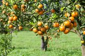 picture of tangerine-tree  - fresh orange on plant or orange tree - JPG