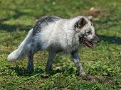stock photo of arctic fox  - Arctic Fox at springtime in its habitat - JPG