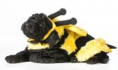 barbet puppy wearing bee costume on white background