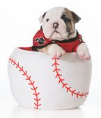 sports hound - bulldog puppy inside a baseball
