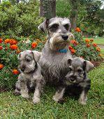 Schnauzer Family 2