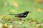 Male Oriental Magpie-robin