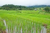 Rice Field With Shack