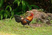 Male Red Junglefowl (gallus Gallus)