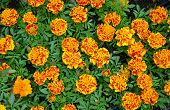 Orange And Yellow Marigold Flowers