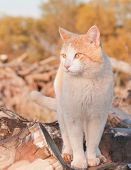 Orange and white tomcat standing on top of a wood pile in late evening sun