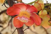 foto of cannonball  - isolate background  for the Cannonball tree flowers - JPG