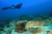 stock photo of cuttlefish  - Scuba Diver and Cuttlefish - JPG