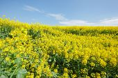picture of biodiesel  - Rapeseed field - JPG