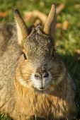 Portrait Of A Patagonian Mara