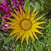 yellow gazania flower closeup