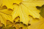 Mixture Of Autumn Leaves