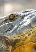 Crocodile Close-up Eyes And Teeth