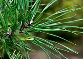 stock photo of tree snake  - A Rough Green Snake crawling on a pine tree - JPG