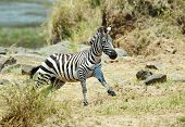 Single Zebra (african Equids) Running