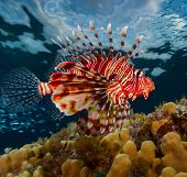 Lion fish swimming over coral reef. Red Sea. Egypt
