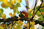 red squirrel with nuts in your mouth