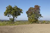 Pear Tree - Two Pear Trees In An Open Landscape