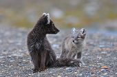 Arctic fox and cub