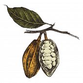 stock photo of bean-pod  - hand drawn cocoa beans in vintage style - JPG