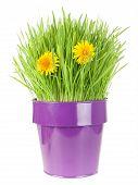 pic of catnip  - grass in metallic flowerpot with dandelion flowers isolated on white - JPG