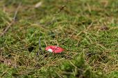 Red Edible Mushrooms