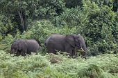 forest elephants in rain forest of Mt Kenya