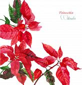 Background  with red poinsettia