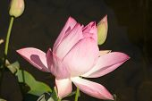 Pink water lily -shallow depth of field
