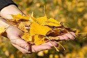 Armful Of Yellow Autumn Leaves