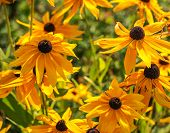 yellow rudbeckia  flowers in the garden