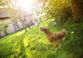 Hen in garden