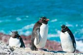 Pinguins Rockhopper