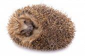Hedgehog (erinaceus albiventris) sleeping, isolated on white background